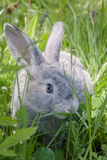 Grey rabbit. On the grass in nature Royalty Free Stock Photography