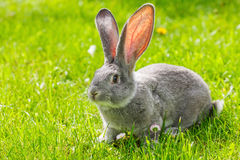 Grey rabbit in green grass Royalty Free Stock Images