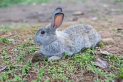 Grey Rabbit on ground. Grey Rabbit long ear on ground Royalty Free Stock Images