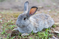 Grey Rabbit on ground. A grey rabbit long ear lie on ground Royalty Free Stock Photography