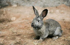 Grey rabbit at homestead Stock Images