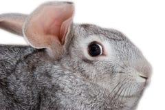 Grey rabbit isolated. On white Stock Photography