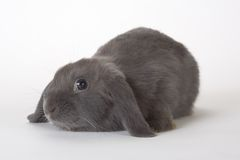 Grey rabbit, isolated Royalty Free Stock Images