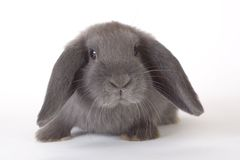 Grey rabbit, isolated Stock Photos