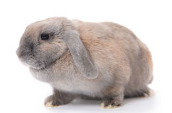 Grey rabbit  isolated on white background Stock Photos