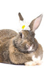 Grey rabbit, isolated on white background Stock Photos