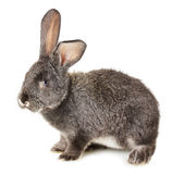 Grey rabbit isolated on the white background Stock Images