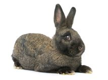 Grey rabbit isolated. On white background thee months old studio shot Royalty Free Stock Image