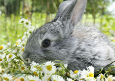 Grey rabbit in a meadow Royalty Free Stock Photos