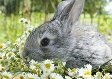 Grey rabbit in a meadow Royalty Free Stock Photos