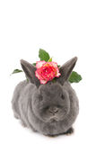 Grey rabbit with a pink jagged rose Royalty Free Stock Photos