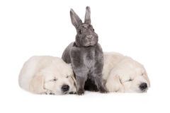 Grey rabbit posing with two golden retriever puppies Stock Photo