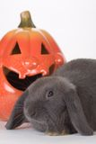 Grey rabbit and a pumpkin Royalty Free Stock Image