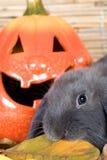 Grey rabbit and a pumpkin Stock Photography