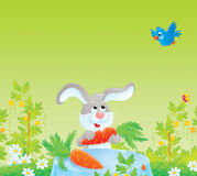 Grey rabbit and red-ripe carrot Royalty Free Stock Photography