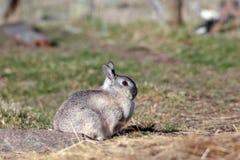 Grey Rabbit Stock Photography
