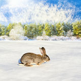 Grey rabbit run to the winter forest Royalty Free Stock Photos