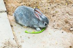 Grey rabbit on sand yard in the zoo, Thailand Stock Photos