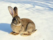 Grey rabbit sitting on the snow Stock Photography