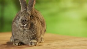 Grey rabbit sniffing arround stock video footage