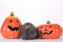 Grey rabbit between two pumpkins Stock Photography