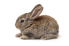 Grey rabbit Stock Image