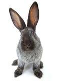 Grey rabbit Royalty Free Stock Photography