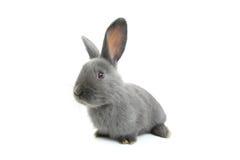 Grey rabbit Stock Images