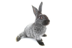 Grey rabbit Stock Image