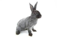 Grey rabbit Royalty Free Stock Photos