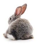 Grey rabbit. Royalty Free Stock Photo