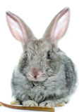 Grey rabbit on a white background Stock Image