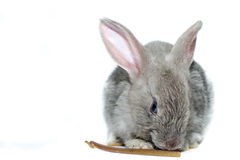 Grey rabbit on a white background Stock Images