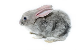 Grey rabbit on a white background Royalty Free Stock Image