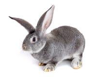 Grey rabbit on white background stock image