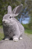 Grey rabbit. On the wood in nature Royalty Free Stock Images