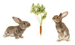 Grey  rabbits Royalty Free Stock Photos