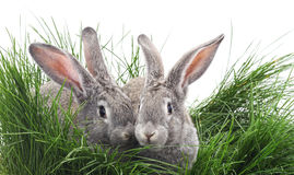 Grey rabbits. Grey rabbits on the grass on a white background royalty free stock photos