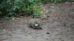Grey Rabbits pequeno aspira e come a grama vídeos de arquivo