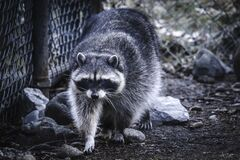 Raccoon walking around the fence