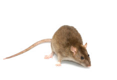Grey rat Stock Images