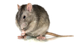 Grey rat Royalty Free Stock Photos