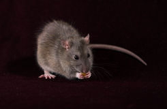 Grey Rat with a Corn. Greay rat with a sweet corn on black background Royalty Free Stock Photos