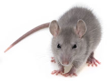 A grey rat Stock Images