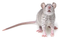 Grey rat Stock Photography