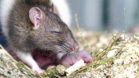 grey rat with newborns. rodent breeding.