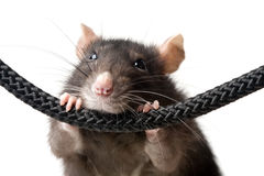 Grey rat portrait Royalty Free Stock Photos