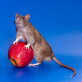 Grey rat with red apple. White rat on a royal blue background Stock Photos