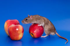 Grey rat with red apple. White rat on a royal blue background Royalty Free Stock Photography