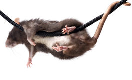 Grey rat on rope Stock Photos